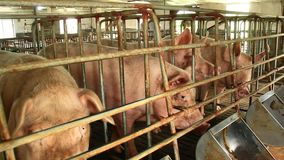 Pigs in the farm. The pigs in the farm stock video footage