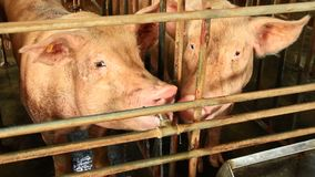 Pigs in the farm. The pigs in the farm stock footage
