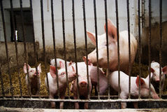 Pigs in a farm Stock Images