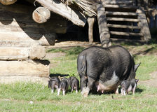 Pigs at farm Royalty Free Stock Photo
