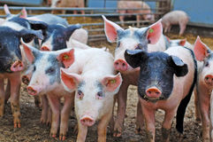 Pigs on farm. Group of pigs in organic farm yard. Sasov, Czech republic stock image