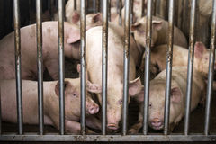 Pigs in farm Stock Image