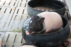 Pigs on farm Royalty Free Stock Images