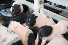 Pigs on farm Royalty Free Stock Image