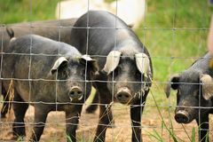 Pigs on farm. A close up of pigs behind a wire fence on a farm Royalty Free Stock Photography