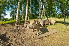 Pigs on a farm. Closeup of a muzzle pig Royalty Free Stock Images