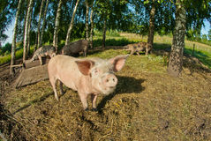 Pigs on a farm Royalty Free Stock Photos