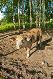 Pigs on a farm Stock Photos