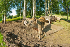 Pigs on a farm Stock Images