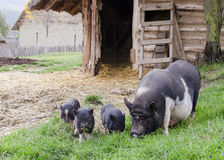 Pigs on farm. Pigs on free range farm, swine with small piglets grazing on grass stock image