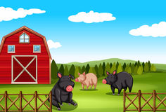 Pigs on a farm Stock Photography