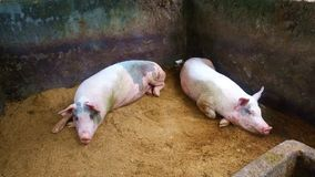Pigs on a farm in Java Indonesia. Pigs in a farm in Java Indonesia Asia stock video