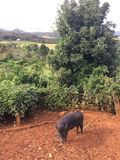 Pigs on Farm on Kauai Island, Hawaii. Stock Photography