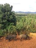 Pigs on Farm on Kauai Island, Hawaii. Royalty Free Stock Photography