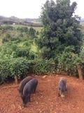 Pigs on Farm on Kauai Island, Hawaii. Stock Photo