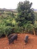 Pigs on Farm on Kauai Island, Hawaii. Stock Images