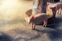Pigs at the farm. Meat industry. One pigs are eating food from feeder at the farm,swine in the stall. Meat industry royalty free stock images