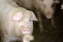 Pigs farm Stock Photo