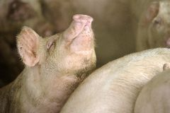 Pigs farm Royalty Free Stock Image