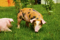 Pigs on a farm. Searching food in grass Stock Photos