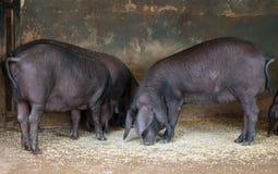Pigs on the farm. Royalty Free Stock Photos