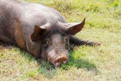 Pigs on the farm. S pig on the farm Royalty Free Stock Photos