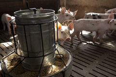 Pigs in the farm Stock Photography