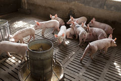 Pigs in the farm Royalty Free Stock Photo