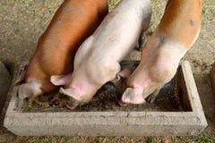 Pigs in farm Stock Photo