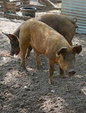 Pigs on a farm Royalty Free Stock Photography