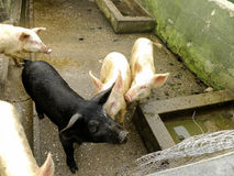 Pigs in the farmyard Stock Photography