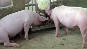 Pigs feed  in pig farm stock video footage