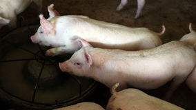 Pigs feed  in pig farm stock footage