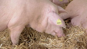 Pigs Feeding on Animal Farm stock video footage