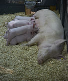 Pigs feeding at the barn Royalty Free Stock Images