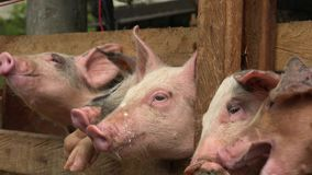 Pigs feeding at farm stock video