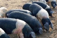 Pigs feeding Stock Image