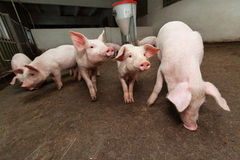 Pig farm. Pigs during feeding. See my other works in portfolio Stock Photos