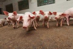 Pig farm Royalty Free Stock Photography