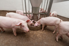 Pig farm. Pigs during feeding. See my other works in portfolio Royalty Free Stock Images