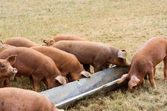Pigs Feeding Time. Rare breed pigs feeding from a trough royalty free stock photography