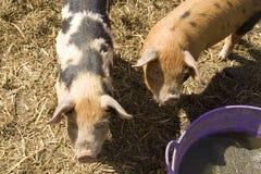 Pigs at feeding time stock photos
