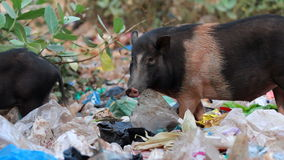 Pigs feeding in trash