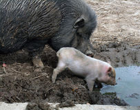 Pigs. Female pig and her baby Royalty Free Stock Images