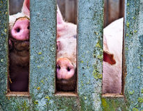 Pigs through fence Royalty Free Stock Photography