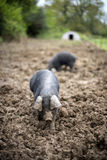 Pigs in a Field. Two Pigs in a field of mud with shallow focus Stock Images