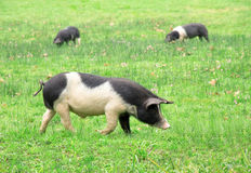 Pigs in the field. Three pigs grazing in the field in the Basque Country, Spain, Europe stock images