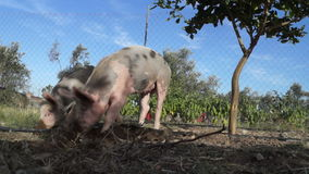 Pigs in the field. Two young pigs dig in the field stock video footage