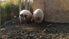 Pigs fighting. Two pigs fighting for a comfortable place stock video