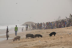 Pigs and fishermen in Cape Coast, Ghana. CAPE COAST, GHANA - JANUARY 2016: Pigs and fishermen on the beach in Cape Coast, Ghana stock images